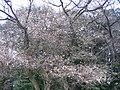 安中観光公園のジュウガツ桜 - panoramio.jpg