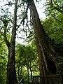 拉拉山森林保育區 Lalasha Forest Reserve - panoramio.jpg