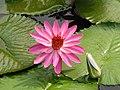 柔毛齒葉睡蓮 Nymphaea lotus v pubescens -新加坡植物園 Singapore Botanic Gardens- (9193430508).jpg