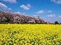 桜と菜の花と青空と (Cherry blossoms and Rape seeds under Blue sky) 06 Apr, 2014 - panoramio.jpg