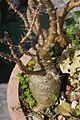 白馬城 Pachypodium saundersii - panoramio.jpg