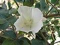 草棉 Gossypium herbaceum -泰國清邁花展 Royal Flora Ratchaphruek, Thailand- (9240221880).jpg