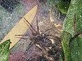 草蛛 Spider - panoramio.jpg