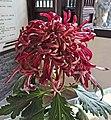 菊花-卷散型 Chrysanthemum morifolium Curlies-spoon-series -上海松江方塔園 Song Jiang, Shanghai- (9207628982).jpg
