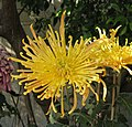 菊花-單管型 Chrysanthemum morifolium Single-tubular-series -香港圓玄學院 Hong Kong Yuen Yuen Institute- (9216111100).jpg