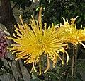 菊花-班師回朝 Chrysanthemum morifolium 'Triumphal Return to Imperial Court' -香港圓玄學院 Hong Kong Yuen Yuen Institute- (12010227163).jpg