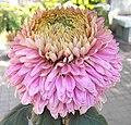 菊花-蓮座型 Chrysanthemum morifolium Lotus-plate-tubular-series -香港圓玄學院 Hong Kong Yuen Yuen Institute- (9252461957).jpg