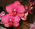 蝴蝶蘭 Phalaenopsis I-Hsin Sesame -香港沙田洋蘭展 Shatin Orchid Show, Hong Kong- (9207603500).jpg