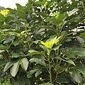 황칠나무 01.jpg
