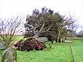 -2020-12-13 Wind fallen Yew tree, Saint Andrew's, Bacton.JPG