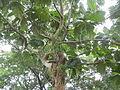 04224jfSanto Rosario La Purisima Artocarpus altilis Aliaga Nueva Ecijafvf 15.JPG