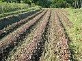 0581jfLandscapes Roads Vegetables Fields Binagbag Angat Bulacanfvf 18.JPG