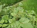 09438jfFranza Halls Vigna radiata Plants Science Munoz Ecijafvf 32.JPG