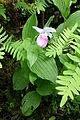 0 Cypripedium reginae - Samoëns (2).JPG