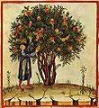 1-albero, Taccuino Sanitatis, Casanatense 4182..jpg