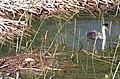 100 - WESTERN GREBE at nest, whalerock res, sloco, ca (8721012915).jpg