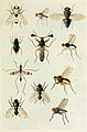 11-Indian-Insect-Life - Harold Maxwell-Lefroy - Acalyptrate-muscoids.jpg