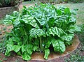 12. Urine fertilised spinach (5621514025).jpg