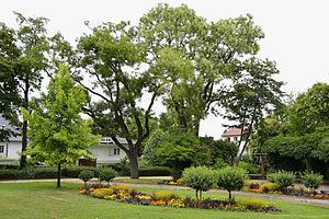 Zwei japanische Schnurbäume (Styphnolobium japonicum)