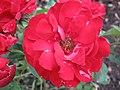1831 - Salzburg - Mirabellgarten - Rose.JPG