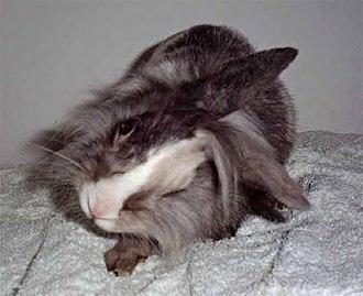 Encephalitozoon cuniculi - Rabbit with encephalitozoonosis, parasitic infection caused by Encephalitozoon cuniculi