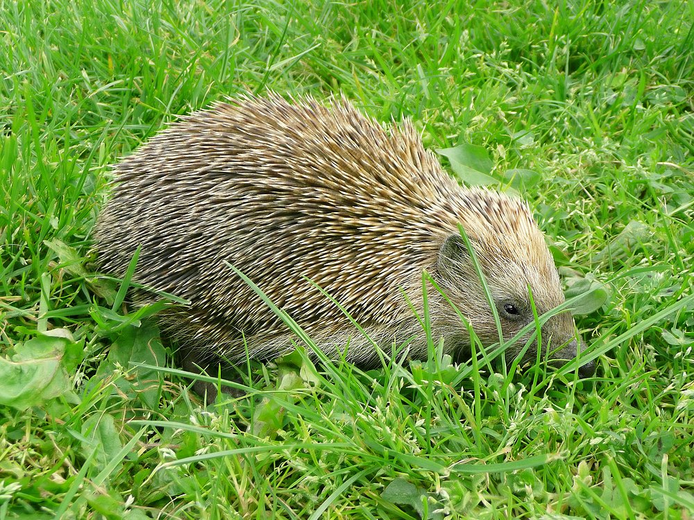 The average litter size of a Southern white-breasted hedgehog is 5