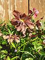 2009-04-11Helleborus x hybridus114.jpg