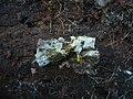2011-04-10 Piloderma croceum J. Erikss. & Hjortstam 208847.jpg