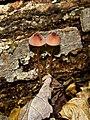 2011-06-15 Mycena sanguinolenta (Alb. & Schwein.) P. Kumm 151560.jpg