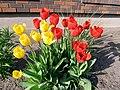2011 Tulips 4 (5766762953).jpg