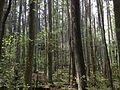 2013-05-10 14 43 45 Atlantic White Cedar swamp along the Cranberry Trail in Brendan T. Byrne State Forest.JPG