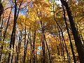 2014-10-30 12 48 46 Trees during autumn in the woodlands along the West Branch Shabakunk Creek in Ewing, New Jersey.JPG