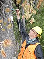 2014. Forest entomologist Glenn Kohler (WDNR) examining verbenone pouches on a whitebark pine. Aerial observer Calibration and Conformity training. (38371663832).jpg