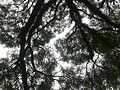20141209 Trees in Ibirapuera Park 02.jpg
