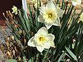 2015-03-16 12 32 24 Daffodils on Idaho Street (Interstate 80 Business) in Elko, Nevada.JPG