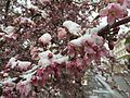 2015-04-08 07 43 32 A wet spring snow on Crabapple blossoms on Commercial Street in Elko, Nevada.jpg