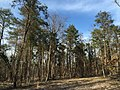 2016-03-10 16 00 33 A grove of Virginia Pine along the North Loop Trail within Ellanor C. Lawrence Park in Fairfax County, Virginia.jpg