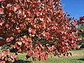 2016-11-18 12 20 29 Callery Pear autumn foliage along Franklin Farm Road between Tranquility Lane and Old Dairy Road in the Franklin Farm section of Oak Hill, Fairfax County, Virginia.jpg