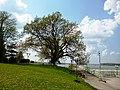 2016 The oak from Danube park in Silistra BG.jpg