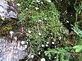 2017-07-22 (18) Unidentified plant at Dürrenstein (Ybbstaler Alpen).jpg