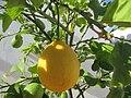 2017-10-26 Ripening lemons on a tree, Albufeira (1).JPG