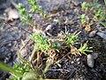 20180421Scleranthus annuus1.jpg