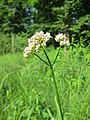 20180519Valeriana officinalis5.jpg