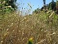 20180708Anthoxanthum odoratum2.jpg