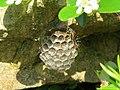 2019-06-07 (112) Polistes (paper wasp) with nest at Bichlhäusl, Tiefgrabenrotte, Frankenfels, Austria.jpg