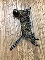 2020-05-13 20 00 10 A tabby cat lying on a wooden floor in the Franklin Farm section of Oak Hill, Fairfax County, Virginia.jpg