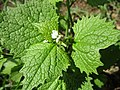 20210502Alliaria petiolata1.jpg