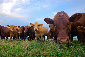 Antibiotic use in livestock - Organic beef comes from cattle who have not been fed antibiotics.