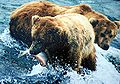 2 bears and salmon.JPG