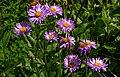2nd Sun Peaks flower hike of the year...Sub-Alpine Daisy (Erigeron peregrinus) ..maybe?... (27962173753).jpg